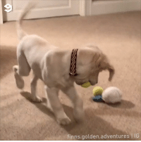 Dank, Good, and 🤖: finns.golden.adventures IG This good boi wanna fit two balls in his mouth.  📹 finns.golden.adventures | IG
