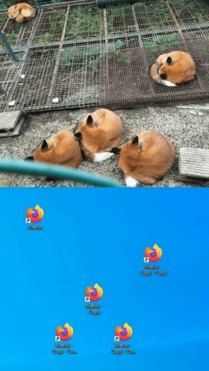 Fire foxes: Fire foxes
