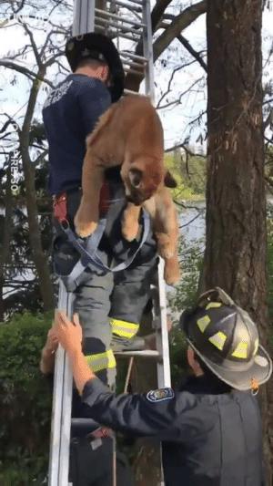 Dank, Columbia, and Tree: Firefighters in Victoria, British Columbia had to rescue a cougar that had climbed up a tree... That's one BIG cat 😳😲