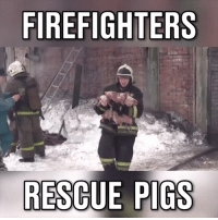 #Respect (Y) <3 Credit Ruptly #onedip: FIREFIGHTERS  RESCUE PIGS #Respect (Y) <3 Credit Ruptly #onedip