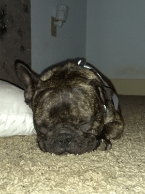 Girl, Puppy, and Old: FIRM  *1RM  F1RN  RM  FIRM  FIRM  FI Long day for our newest addition. Her name is Mabel. She's a 3 yr old Frenchie that we rescued from an Amish puppy mill. Her left ear will never stick up due to infections that were never treated but she's the sweetest lil girl.