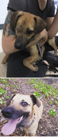 Streets, Brave, and How To: First day we met to today- about 3 months. One eye surgery, several worm treatments, about four pounds gained and lots of treats later he's still working on being brave by the busy streets but has come such a long way!