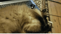 Gif, Magic, and Her: First GIF I've ever made. My sweet ragdoll Maxine playing with her favorite toy, the Catnip Magic 8-Ball.