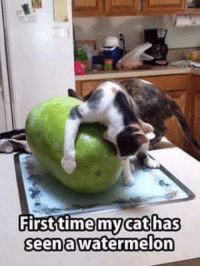 watermelon: First time cat has  seen a Watermelon