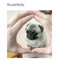 Girl Memes, Pug, and  Want: fits perfectly I want a pug