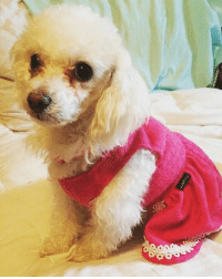 Definitely, Dogs, and Memes: Fituarn Foster needed for Rose by 4-28. Rose is a delicate 9-10 year poodle. She is 10 lbs of constant cuddles and affection. Rose is very well behaved, she walks extremely well on a leash, doesn't pull, and doesn't frighten or get aggressive with strangers or other dogs on the street. She attaches to people very quickly and is completely content to sit on your lap and cuddle all day long with some belly rubs. She is not bark when you're home, however she has mild-moderate separation anxiety so she'll whine when you leave her. She has congestive heart failure, which is just a disease that she deals with. It is managed by 2x daily meds that she'll eat if it's hidden in one of her favorite foods (she's partial to swiss cheese). Due to her heart condition she does have coughing fits, which is just a symptom of the heart condition. Other than her medications, she is a fairly low maintenance dog. She is crate-trained, and doesn't chew or destroy any shoes or furniture. She isn't interested or focused on toys, and is a people person. Although she definitely has been housebroken, due to her meds, she does pee a lot as a side effect. She is trained to use pee pads indoors due to this, and has excellent aim. She is a sweet and gentle little lady who just wants to sit on your lap 24-7 and watch Lifetime movies. Email haar13@aol.com to inquire about fostering or adopting.