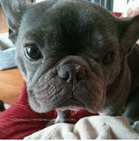 Memes, 🤖, and Him: FITZGERALD FRENCHBULLDO RESCUE ORG Fitzgerald is available for adoption! Read all about this puppy on our website <location, likes, dislikes> and apply to adopt him today: http://frenchbulldogrescue.org/adoption-info/available-dogs2/  Remember, we do accept out-of-state/province applications, and we adopt to residents of the US and Canada. Read more about our adoption process on our website. :)