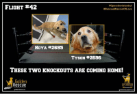 """Ali, Journey, and Memes: FLIGHT #42  #Operation!stanbul  #RescueMissionOfLove  HOYA #2695  TYSON #2696  THESE TwO KNOCKOUTS ARE COMING HOME!  Golden  Rescue  OPERATION """"If my mind can conceive it and my heart can believe it, then I can achieve it."""" (Muhammad Ali).    Well, Hoya, #2695 and Tyson #2696, it's time for you to conceive it, believe it and achieve it. You have just started an amazing journey to your forever home. Welcome to Canada and your new families!  #GoldenRescue  #SecondChances #OperationIstanbul #RescueMissionofLove"""