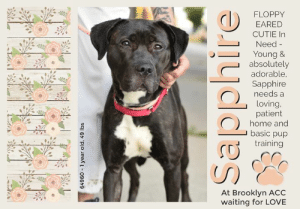 "Being Alone, Apparently, and Cats: FLOPPY  EARED  CUTIE In  Need  Young &  absolutely  adorable  Sapphire  needs a  loving.  patient  home and  basic pup  training  At Brooklyn ACC  waiting for LOVE  64960 1 year old, 49 lbs  Sapphire TO BE KILLED 6/20/19  Youngster Sapphire is a Gorgeous, Smiley, Black Brindle Beauty!  At only a year and 6 months, Sapphire is still a puppy, but is learning the harsh realities of life too fast. Surrendered because her family decided to move where pets were not allowed, Sapphire is clearly confused and scared with these rapid changes, rightfully so. Still at intake, She had a loose body, gave kisses and was friendly and allowed all handling. Her owner said that she can be timid around strangers and shy to approach, but playful with children of all ages. If she knows you, Sapphire will be very friendly and will give you kisses if you kneel down with her.  THIS GIRL IS SO SWEET!! Sapphire can be either playful around dogs and does not pay much attention to them, and has been around dogs of all sizes. So please consider opening your home and your heart to this beauty! The kisses alone will be worth it!  SAPPHIRE@BROOKLYN ACC Sapphire - 64960  Sex: Female Age: 1 years old Length: Short Is Vaccinated: Yes Coat Type: Smooth Primary Color: Black Brindle Secondary Color: White Weight: 49 lbs. Owner Surrender Reason: landlord issues Shelter Assessment Rating: LEVEL 3 No children (under 13) Medical Behavior Rating: Yellow  Intake Date: 06-05-2019  My health has been checked My vaccinations are up to date My worming is up to date I have been microchipped  OWNER SURRENDER NOTES - BASIC INFORMATION: Sapphire is a 1 year and 6 month old Black brindle and white female large mixed breed dog. Previous owner had Sapphire for about 1 year and got her from a friend. Sapphire was surrendered to ACC due to landlord issues She previously lived with 2 adults. Around strangers, Sapphire is very timid at times and may be shy when she approaches. She is very friendly and will give you kisses if you kneel down with her. Sapphire has been around children of all ages. She likes children and is very playful and outgoing. Sapphire has been around small and large dog. She is friendly and does not pay much attention to other dogs. Sapphire has not been around cats. She does not resource guard food bowls toys or treats. She may bark sometimes if someone she does not know approaches the home. Sapphire has not bitten another animal or person. She is partially housetrained and her previous owner describes her as high energy, friendly, affectionate, playful and shy.   Other Notes: Sapphire has received a bath from the previous owners. She is tolerant. She isn't bothered if she is held or restrained  Has this dog ever had any medical issues? No  Medical Notes no medical concerns or issues at this time.  For a New Family to Know Sapphire is a High energy, friendly, affectionate, playful and shy cat. Previous owner's favorite thing about Sapphire is that she is very friendly and gives kisses. Sapphire loves playing with toys and ropes. She is not crate trained. She knows commands like sit, stay and lay down.   INTAKE NOTES – DATE OF INTAKE, 06-05-2019: Upon intake, Sapphire had a loose body. I kneeled down to pet her and she began to give kisses and was very friendly. allowed all handling.   BEHAVIOR NOTES   Means of surrender (length of time in previous home): Owner Surrender (in home for 1 year) Previously lived with: 2 adults Behavior toward strangers: Timid, shy though may warm up Behavior toward children: Playful, outgoing Behavior toward dogs: Friendly, keeps to herself Behavior toward cats: Unknown Resource guarding: None reported Bite history: None reported Housetrained: Partially Energy level/descriptors: Sapphire is described as friendly, affectionate, playful and shy with a high level of energy.   SAFER ASSESSMENT: Date of assessment: 6-Jun-2019  Summary: Leash Walking Strength and pulling: No pulling Reactivity to humans: None  Reactivity to dogs: None Leash walking comments: Balked when exiting her kennel and entering the building after her relief walk  Sociability Loose in room (15-20 seconds): Neutral body, tail high, ears erect, tense head, mouth closed, approaches handlers, lip licking, accepts contact, some tail wagging Call over: Approaches readily Sociability comments:   Handling  Soft handling: Neutral-soft body, tail low, ears erect, tense head, closed mouth, lip licking, leans into and accepts all contact Exuberant handling: Neutral-soft body, tail low, ears erect, tense head, closed mouth, lip licking, leans into and accepts all contact Handling comments:  Arousal Jog: Follows handler, neutral and loose Arousal comments:  Knock Knock Comments: Pulls hard toward door when assistant exits; No response to knock; Approaches assistant, neutral body, then moves toward door  Toy Toy comments: Minimal interest  PLAYGROUP NOTES - DOG TO DOG SUMMARIES: According to Sapphire's previous owner, she has interacted with small and large dogs. She is friendly and does not pay much attention to other dogs.   6/6: When off leash at the Care Center, Sapphire is introduced to a novel male dog. She is nervous with a hunched posture and lowered head. Sapphire does not greet the male and avoids him for the entire session.   6/9: Sapphire is introduced to a novel female dog today. She continues to be nervous, slow in her movements and keeps her distance from the other dog.   INTAKE BEHAVIOR: Date of intake: 5-Jun-2019 Summary: Loose body, friendly, allowed handling  MEDICAL BEHAVIOR: Date of initial: 6-Jun-2019 Summary: Tense, shaking, whale eyed  ENERGY LEVEL: Sapphire has been observed to exhibit a medium level of energy during her interactions in the care center.  IN SHELTER OBSERVATIONS:  6/6/19: In her kennel, while she approached when eating a treat, Sapphire low growled. 6/7/19: When approaching her kennel, Sapphire was observed to be laying down near her kennel door. The handler approached and crouched down, as Sapphire moved her nose closer to the handler. The handler then offered some treats to Sapphire, which she received very softly. As she was engaged with her treats, the handler moved a bit closer to Sapphire, when she was observed to tense, side eye and low growl toward the handler.   BEHAVIOR DETERMINATION: Level 3 Behavior Asilomar TM - Treatable-Manageable  Recommendations: No children (under 13)  Recommendations comments: No children (under 13): Due to Sapphire's overall timidity, fearful behavior and observed resource guarding behavior, we feel it would be best for her to be placed in a stable, adult-only home environment to ensure her success. It is advised that the new adopters should be able to exercise appropriate and safe management when handling Sapphire, allowing her to acclimate and decompress at her own pace. Force-free, reward-based training only is advised when introducing or exposing Sapphire to new and unfamiliar situations, as well as utilizing guidance from a qualified, professional trainer/behaviorist.  Potential challenges:  Resource guarding Fearful/potential for defensive aggression Kennel presence  Potential challenges comments:  Resource guarding: Sapphire has been observed to low growl toward handlers when they approach her treats while she is in her kennel. This behavior has not been observed when toys are present. Please refer to the handout for Resource guarding.  Fearful/potential for defensive aggression: Sapphire exhibits overall timidity and fearful behavior during her interactions in the care center, with the potential for defensive aggression. She remains tense and wary throughout her interactions, although she solicits attention and accepts most contact. Sapphire has been observed to low growl toward staff members who approach her while in her kennel, but has not been observed to escalate beyond these behaviors. Please refer to the handout for Fearful/potential for defensive aggression.  Kennel presence: Sapphire has been observed to low growl toward handlers when they approach her in her kennel. This behavior has been observed on multiple occasions with different staff members. Should this behavior arise in a home environment, please refer to the handout for Kennel presence.  MEDICAL EXAM NOTES   6-Jun-2019  DVM Intake Exam Estimated age: 1.5 years according to o Microchip noted on Intake? negative History : o/s Subjective: BARH Observed Behavior - tense, nervous, shaking, whale eyes. Did not warm up. Low growl in cage. Muzzled for exam. Evidence of Cruelty seen - no Evidence of Trauma seen - no Objective  P = wnl  R = eupneic  BCS 3.5-4/9 EENT: Eyes clear, ears clean, no nasal discharge noted Oral Exam: muzzled PLN: No enlargements noted H/L: NSR, NMA, CRT < 2, Lungs clear, eupneic ABD: Non painful, no masses palpated U/G: FI, no MGTs, no vulvar d/c MSI: Ambulatory x 4, skin free of parasites, no masses noted, healthy hair coat CNS: mentation appropriate - no signs of neurologic abnormalities Assessment: Apparently healthy, thin Plan: Continue to monitor while at BACC Start trazodone 150mg PO BID for shelter anxiety Prognosis: Excellent SURGERY: ok to schedule for surgery  *** TO FOSTER OR ADOPT ***  HOW TO RESERVE A ""TO BE KILLED"" DOG ONLINE (only for those who can get to the shelter IN PERSON to complete the adoption process, and only for the dogs on the list NOT marked New Hope Rescue Only). Follow our Step by Step directions below!   *PLEASE NOTE – YOU MUST USE A PC OR TABLET – PHONE RESERVES WILL NOT WORK! **   STEP 1: CLICK ON THIS RESERVE LINK: https://newhope.shelterbuddy.com/Animal/List  Step 2: Go to the red menu button on the top right corner, click register and fill in your info.   Step 3: Go to your email and verify account  \ Step 4: Go back to the website, click the menu button and view available dogs   Step 5: Scroll to the animal you are interested and click reserve   STEP 6 ( MOST IMPORTANT STEP ): GO TO THE MENU AGAIN AND VIEW YOUR CART. THE ANIMAL SHOULD NOW BE IN YOUR CART!  Step 7: Fill in your credit card info and complete transaction   HOW TO FOSTER OR ADOPT IF YOU *CANNOT* GET TO THE SHELTER IN PERSON, OR IF THE DOG IS NEW HOPE RESCUE ONLY!   You must live within 3 – 4 hours of NY, NJ, PA, CT, RI, DE, MD, MA, NH, VT, ME or Norther VA.   Please PM our page for assistance. You will need to fill out applications with a New Hope Rescue Partner to foster or adopt a dog on the To Be Killed list, including those labelled Rescue Only. Hurry please, time is short, and the Rescues need time to process the applications."