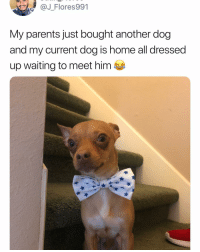Memes, Parents, and Home: Flores991  My parents just bought another dog  and my current dog is home all dressed  up waiting to meet him Henlo, wearing my finest bow tie. Welcome to the home brother. Tw j_flores991