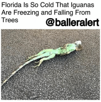 "Frozen, Memes, and Florida: Florida ls So Cold That lguanas  Are Freezing and Falling From  Trees  @balleralert Florida Is So Cold That Iguanas Are Freezing and Falling From Trees - blogged by @MsJennyb ⠀⠀⠀⠀⠀⠀⠀ ⠀⠀⠀⠀⠀⠀⠀ As the Northeast recovers from the "" BombCyclone"" that brought low temperatures, several inches of snow and wind gusts as high as 60 mph, the Southeast is dealing with frigid temperatures as well. In fact, it's so cold in Florida that iguanas are freezing and falling from their perches in trees. ⠀⠀⠀⠀⠀⠀⠀ ⠀⠀⠀⠀⠀⠀⠀ According to reports, Florida temperatures dropped below 40 degrees Fahrenheit on Thursday, the same day the ""bomb cyclone"" slammed the northeastern states. However, for the iguanas, who have made a home in the warm Miami suburbs, the low temperatures can cause lethargic tendencies. ⠀⠀⠀⠀⠀⠀⠀ ⠀⠀⠀⠀⠀⠀⠀ But, officials are warning homeowners to be careful if frozen iguanas are found on their property. Although photos have surfaced of the frozen cold-blooded creatures, officials say they may not be dead. And if they haven't croaked, there is a chance that the iguana can feel threatened and bite once they warm up. In most cases, reports state, the creature will eventually warm up and start moving again."