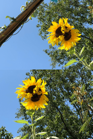flowerisshh:  Sunflower grew in my grandfather's garden 🌻 ig: flowerisshh: flowerisshh:  Sunflower grew in my grandfather's garden 🌻 ig: flowerisshh