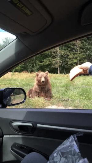 Life, Target, and Tumblr: fluffychesnut: egaylitarian:  500daysofbecky:  500daysofbecky: I really need everyone to see me throwing a piece of bread into a bears mouth. I actually have never been more proud of anything in my life and WILL reblog this every day until I die.  Fris-bear  talented bear