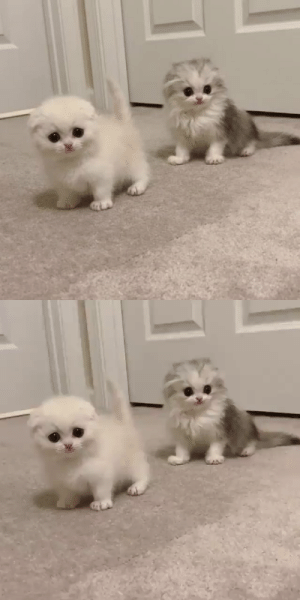fluffygif: Cutie & fluffy by sweetheartkittens: fluffygif: Cutie & fluffy by sweetheartkittens