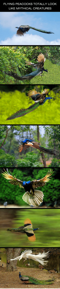 <p>Mythical Creatures.</p>: FLYING PEACOCKS TOTALLY LOOK  LIKE MYTHICAL CREATURES <p>Mythical Creatures.</p>