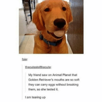 Animal Planet, Funny, and Memes: foie:  thecutest  My friend saw on Animal Planet that  Golden Retriever's mouths are so soft  they can carry eggs without breaking  them, so she tested it.  I am tearing up Follow us for more funny tumblr & textposts!!