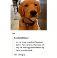 Animal Planet, Memes, and Saw: foie:  thecutestofthecute:  My friend saw on Animal Planet that  Golden Retriever's mouths are so soft  they can carry eggs without breaking  them, so she tested it.  I am tearing up Night guys xx