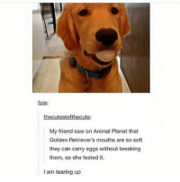 Animal Planet, Memes, and Saw: foie  thecutestofthecute:  My friend saw on Animal Planet that  Golden Retriever's mouths are so soft  they can carry eggs without breaking  them, so she tested it.  I am tearing up Follow for more tumblr and textposts!!