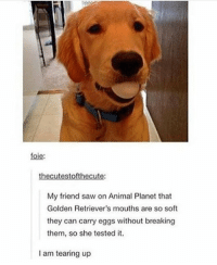 Animal Planet, Dogs, and Memes: foie:  thecutestofthecute:  My friend saw on Animal Planet that  Golden Retriever's mouths are so soft  they can carry eggs without breaking  them, so she tested it  I am tearing up DOGS ARE AMAZING https://t.co/0Vz73IN65U
