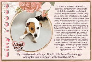 Being Alone, Bones, and Cats: For a New Family to Know: Lilly is  described her as friendly, affectionate  playful, shy, excitable, fearful, and  anxious. The prior owners favorite thing  about her is how affectionate she is. Her  favorite activities are cuddling & going on  walks. When in the home Lilly will usually  be in the same room. She likes squeaky  toys and chew bones. She enjoys playing  tug, wrestling, and alerting. For exercise  she is used to running/jogging 3 times a  week. She is a good little girl, anxious  when left alone at home, who would do  best in a new home were her special  person is there most of the time. Fearful  at the shelter & therefore rescue only  meaning you have to apply with rescues  to foster or adopt her. PLEASE, DO!  Apply now to save her life!  Adopt  me  PEease  Lilly 70066 is an adorable 3 yr old, 17 lb, little Russell Terrier nugget  waiting for your loving arms at the Brooklyn, NY ACC.  ET **FOSTER or ADOPTER NEEDED ASAP** ** Favorite activities: Cuddling & Walks <3 ** Lilly 70066 is an adorable 3 yr old, 17 lb, little Russell Terrier nugget waiting for your loving arms at the Brooklyn, NY ACC. For a New Family to Know: Lilly is described her as friendly, affectionate, playful, shy, excitable, fearful, and anxious. The prior owners favorite thing about her is how affectionate she is. Her favorite activities are cuddling & going on walks. When in the home Lilly will usually be in the same room. She likes squeaky toys and chew bones. She enjoys playing tug, wrestling, and alerting. For exercise she is used to running/jogging 3 times a week. She is a good little girl, anxious when left alone at home, who would do best in a new home were her special person is there most of the time. Fearful at the shelter & therefore rescue-only meaning you have to apply with rescues to foster or adopt her. PLEASE, DO! Apply now to save her life!   ✔Pledge✔Tag✔Share✔FOSTER✔ADOPT✔Save a life!  Lilly 70066 Small Mixed Breed Sex female Age 3 yrs (approx.) - 17 lbs  My health has been checked.  My vaccinations are up to date. My worming is up to date.  I have been micro-chipped.   I am waiting for you at the Brooklyn, NY ACC. Please, Please, Please, save me!  **************************************** *** TO FOSTER OR ADOPT ***   If you would like to adopt a NYC ACC dog, and can get to the shelter in person to complete the adoption process, you can contact the shelter directly. We have provided the Brooklyn, Staten Island and Manhattan information below. Adoption hours at these facilities is Noon – 8:00 p.m. (6:30 on weekends)  If you CANNOT get to the shelter in person and you want to FOSTER OR ADOPT a NYC ACC Dog, you can PRIVATE MESSAGE our Must Love Dogs - Saving NYC Dogs page for assistance or email MustLoveDogsNYC@gmail.com.   PLEASE NOTE: You MUST live in NY, NJ, PA, CT, RI, DE, MD, MA, NH, VT, ME or Northern VA. You will need to fill out applications with a New Hope Rescue Partner to foster or adopt a NYC ACC dog. Transport is available if you live within the prescribed range of states.  Shelter contact information: Phone number (212) 788-4000 Email adopt@nycacc.org  Shelter Addresses: Brooklyn Shelter: 2336 Linden Boulevard Brooklyn, NY 11208 Manhattan Shelter: 326 East 110 St. New York, NY 10029 Staten Island Shelter: 3139 Veterans Road West Staten Island, NY 10309 **************************************  NOTE: WE HAVE NO OTHER INFORMATION THAN WHAT IS LISTED WITH THIS FLYER.  Basic Information: Lilly is a 3 year old small mixed breed. Previously lived with: 1 adult, 1 child  How is this dog around strangers? Around strangers Lilly is shy for a few minutes but then is friendly and outgoing. How is this dog around children? Lilly is relaxed and playful around children but plays somewhat rough. How is this dog around other dogs? Lilly is fearful of other dogs and will play rough. How is this dog around cats? Lilly has never been around cats. Resource guarding: No history of resource guarding. Lilly isn't bothered when someone tries taking food or toys away. Bite history: No bite history. Housetrained: Yes Energy level/descriptors: High energy. Other Notes: Lilly will growl if someone holds or restrains her. She will also growl if someone unfamiliar approaches a family member. Lilly is scared of fireworks/storms and panics. She barks too much and destroys stuff indoors. Has this dog ever had any medical issues?No  For a New Family to Know Lilly can be a little shy and fearful at first so go slow. The previous owner described her as friendly, affectionate, playful, shy, excitable, fearful, and anxious. Their favorite thing about her is how affectionate she is. Her favorite activities are cuddling and going on walks. When in the home Lilly will usually be in the same room. She likes squeaky toys and chew bones. She enjoys playing tug, wrestling, and alerting. For exercise she is used to running/jogging 3 times a week. When left alone in the home she will bark/whine and destroy household items. When off leash she will run away.  Behavior Notes: Upon intake Lilly was fearful. She came up to me wagging her tail but once she saw the MC scanner she tucked her tail and backed away. When I attempted to scan she whimpered and urinated on the floor and attempted to snap. When I went to put the lead on her she tried snapping again. After that I did minimal handling and the previous owner helped me collar, take a photo, and place her in a kennel.  SAFER ASSESSMENT: Date of assessment: 18-Aug-2019 BEHAVIOR: Summary:  Leash Walking Strength and pulling: Mild  Reactivity to humans: None  Reactivity to dogs: None   Sociability Loose in room (15-20 seconds): Tense, avoiding, panting Call over: Does not approach  Handling  Soft handling Exuberant handling Handling comments: Quickly head flips, yelps and moves away upon contact, handling portion was not conducted  Arousal Jog Arousal comments: Did not conduct due to level of fear  Knock Knock Comments: No response  Toy Toy comments: No interest   DOG-DOG: According to Lilly's previous owner, Lilly is fearful of other dogs and will play rough.  When off leash at the Care Center, Lilly is fearful and avoids other small dogs and handlers.  She will venture out from hiding under the bench occasionally to explore the pens when the other dogs ignore her.   IN SHELTER OBSERVATIONS: 8/18 When a handler attempted to touch Lilly while she was seeking attention, she quickly yelped and snapped. 8/15 behavior upon intake Lilly appeared fearful though approached counselor wagging, she tucked her tail and backed away when approached by microchip scanner. When scanned she urinated and snapped. Upon leashing, Lilly also snapped.  BEHAVIOR DETERMINATION: New Hope Only  Behavior Asilomar TM - Treatable-Manageable  Recommendations: No children (under 13)/Place with a New Hope partner. Recommendations comments: No children (under 13): Due to Lilly's handling sensitivity combined with her overall level of fear, we feel as though she would be best set up to succeed in an experienced adult only home environment. Place with a New Hope partner: Due to Lilly's overall level of fear combined with her propensity to escalate quickly, we feel as though she would be best set up to succeed if placed with an experienced rescue partner. Force-free, reward based training only is advised when introducing or exposing Lilly to new and unfamiliar situations. Guidance from a professional trainer or veterinary behaviorist is advised.   Potential challenges: Destructive behavior/Handling/touch sensitivity/Fearful/potential for defensive aggression/Anxiety Potential challenges comments: Lilly is reported to growl when someone holds her or restrains her. In the care center, she has been observed to yelp and snap when attempts to place a leash on her are made and snaps upon contact; please see handout on Handling Sensitivity. Lilly is reported to bark, whine and become destructive when left alone; please see handout on Generalized Anxiety and Destructive behavior. Lilly has growled and snapped at handlers in the care centers on multiple occasion, in her previous home she is reported to be shy; please see handout on Fearful and Defensive Aggression.   DVM Intake Estimated age: 3 years Microchip noted on Intake? Yes History: Owner surrender Subjective: BARH, no coughing/sneezing/vomiting/diarrhea Observed behavior: Growling with lips forward, lunging, hard barking. Sedated with 0.25 mg/kg butorphanol and 15 mcg/kg dexmedetomidine IM. Evidence of cruelty seen: No Evidence of trauma seen: No OP: Mucous membranes pink and moist. CRT <2. No dental disease. EENT: Eyes, ears, and nares clear bilaterally, no discharge noted. PLN: Small/soft/symmetrical/nonpainful CV: No murmurs or arrhythmias, pulses strong and synchronous. RESP: Eupneic, no crackles/wheezes GI: Soft, nonpainful, no palpable masses. UG: female spayed, tattoo on ventrum, no discharge INT: Good hair coat, no areas of alopecia or pruritus, no ectoparasites or masses noted. MS: Ambulatory x4, no pain on palpation of epaxials NEURO: Mentation appropriate, cranial nerves intact, no deficits noted. CBC: Mild reticulocytosis 145.4 (10-110 K/uL) Mild neutrophilia 12.47 (2.95-11.64 K/uL) Chemistry: All values WNL Assessment: Clinically healthy Plan: -Start trazodone 5 mg/kg PO q12h indefinitely  Surgery: Spayed  ************************************** RE: ACC site Just because a dog is not on the ACC site does NOT necessarily mean safe. There are many reasons for this like a hold or an eval has not been conducted yet or the dog is rescue-only... the list goes on... Please, do share & apply to foster/adopt these pups as well until their thread is updated with their most current status. TY! ****************************************** About Must Love Dogs - Saving NYC Dogs: We are a group of advocates (NOT a shelter NOR a rescue group) dedicated to finding loving homes for NYC dogs in desperate need. ALL the dogs on our site need Rescue, Fosters, or Adopters & that ASAP as they are in NYC high-kill shelters. If you cannot foster or adopt, please share them far & wide. Thank you for caring!! <3 ****************************************** RESCUES: * Indicates New Hope Rescue partner is accepting applications for fosters and/or adopters. http://www.nycacc.org/get-involved/new-hope/nhpartners ****************************************** Beamer Maximillian Ja Ku Stephanie Stadler Caro Hocker Carolin Hocker Raintree Jacks Jack Russell Rescue