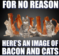 FOR NO REASON  HERE'S AN IMAGE O  BACON AND CATS For no reason, here's an image of bacon and cats   MOL  #cats #bacon