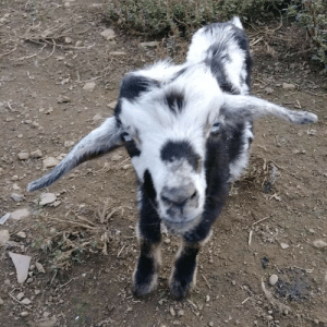 For your enjoyment here's a pygmy goat. His name is Patrick and he likes cuddles: For your enjoyment here's a pygmy goat. His name is Patrick and he likes cuddles