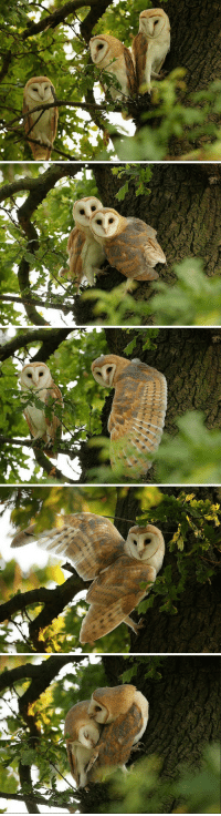 forest-faerie-spirit: {Barn Owls in The Oak} by {Mike Rae} : forest-faerie-spirit: {Barn Owls in The Oak} by {Mike Rae}
