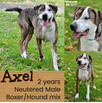 Dogs, Memes, and Puppies: FOREVER BEGINS  It  Axel 2 years  Neutered Male  Boxer/Hound mix All dogs/puppies in our shelter can be viewed here.  Any dog not being held as a stray is available for immediate, same-day adoption! Adoption applications are reviewed on site. Please share our dogs and help get them out of the shelter as quickly as possible!  **PLEASE NOTE**  Placing an application on a dog featured in this album does NOT hold the dog for you.  All available dogs are available to be met and adopted same day if already altered.  If not altered, the dog can be met and paid for in order to hold the dog for you.  Thank you for your understanding!
