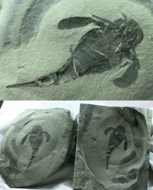 fossilmall:  Eurypterus remipes Eurypterid Fossil Gem from the famous New York Bertie Group  Eurypterus remipes  Class Merostomata, Order Eurypterida, Superfamily Eurypteroidea, Family EurypteridaeGeological      Time: Upper Silurian, (~410 m.y.a.) Fossil Site: Bertie Group, Fiddler's Green Formation Phelps Waterlime, Herkimer     County, New York Just posted on Fossil Mall : fossilmall:  Eurypterus remipes Eurypterid Fossil Gem from the famous New York Bertie Group  Eurypterus remipes  Class Merostomata, Order Eurypterida, Superfamily Eurypteroidea, Family EurypteridaeGeological      Time: Upper Silurian, (~410 m.y.a.) Fossil Site: Bertie Group, Fiddler's Green Formation Phelps Waterlime, Herkimer     County, New York Just posted on Fossil Mall
