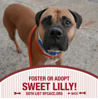 SAFE!! LILY ADOPTED!! WOOHOO! 💞💞💞💞💞💞💞  SAVE SWEET SCARED FURBABY, LILLY! ON NYCACC EUTH LIST!  🆘**NEEDS FOSTER OR ADOPTER URGENTLY!! Brooklyn ACC.**  Please SHARE LILLY! She came in with a small dog both owner surrenders. Timid & scared in the shelter but, not aggressive at all. She's a sweet dog thats totally confused and terrified being in a shelter envionmemt. She will blossom in home where she feels safe. TIME RUNS SHORT! SHARE LILLY NOW! 💔  More Info: http://nycdogs.urgentpodr.org/lily-a1110658/ To save Lilly: HelpDogs@UrgentPODR.org  #AdoptLillyBACC #AdoptACuddleBear: FOSTER OR ADOPT  SWEET LILLY!  EUTH LIST NYCACC.ORG BACC SAFE!! LILY ADOPTED!! WOOHOO! 💞💞💞💞💞💞💞  SAVE SWEET SCARED FURBABY, LILLY! ON NYCACC EUTH LIST!  🆘**NEEDS FOSTER OR ADOPTER URGENTLY!! Brooklyn ACC.**  Please SHARE LILLY! She came in with a small dog both owner surrenders. Timid & scared in the shelter but, not aggressive at all. She's a sweet dog thats totally confused and terrified being in a shelter envionmemt. She will blossom in home where she feels safe. TIME RUNS SHORT! SHARE LILLY NOW! 💔  More Info: http://nycdogs.urgentpodr.org/lily-a1110658/ To save Lilly: HelpDogs@UrgentPODR.org  #AdoptLillyBACC #AdoptACuddleBear