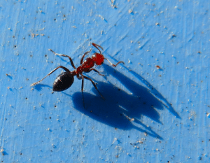 Tumblr, Blog, and Red: fotoitalien:  the long shadow of the red-headed ant