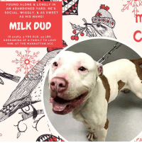 "Being Alone, Animals, and Apparently: FOUND ALONE &LONELY IN  AN ABANDONED YARD, HE'S  SOCIAL, WIGGLY, & AS SWEET  AS HIS NAME!  A-  MILK DUD  ID 51583. 3 YRS OLD, 55 LBS.  &DREAMING OF A FAMILY TO LOVE  HIM, AT THE MANHATTAN ACC TO BE KILLED 1/10/2019  *** Found alone and lonely in an abandoned yard *** ☹  We've never met anyone who doesn't like Milk Duds…that chewy, chocolatey candy that is totally addictive! Therefore, we challenge ANYONE out there not to fall hopelessly in love, and become addicted to, our wiggly boy MILK DUD. Just like the candy he is named for, he is super sweet! It's too bad his former family didn't appreciate him, because he was found all alone, neglected and dirty in an abandoned yard. He was so happy when his finder lent him a hand, so much so he jumped up on him and gave him a big kiss! But fast forward and now poor Milk Dud is on the list to die, and this is NOT the outcome he expected! You see, Milk Dud is big, wiggly, soft & social--he's a pup who greets every new person he meets with a jump up hug. Probably best for homes with children over Age 13 or we'd have a lot of knocked over toddlers. 😊 But his big ole' heart is in the right place, and it's made of pure gold. There's not a bad bone in his whole body. He will benefit from training on command like ""drop it / leave it"" so he realizes that sharing toys is the only way two can play the game, but that is easy when you have a pup who is simply so eager to please. So don't let him die! Hurry and MESSAGE our page or email us at MustLoveDogsNYC@gmail.com for assistance fostering or adopting him so his life can be saved.   A volunteer writes:  As sweet as the candy he is named after, Milk Dud is ready and waiting to melt your heart! With caramel droplets on his fur like the gooey center of his namesake, he is a looker for sure with a personality to match. Milk Dud would do best with an owner who is ready to work with a goofy doof, helping him to learn how to be the perfect pet. Milk Dud loves romping around in the yard with his human and canine pals, and while he doesn't want to share his toys, is happy to share his heart.  MY VIDEO: Milk Dud and Princess in Playgroup https://youtu.be/vBtls_yKl2w  MILK DUD, ID# 51583, @ 3 Yrs. Old, 65.5 lbs. Manhattan ACC, Large Mixed Breed, White / Brown, Unaltered Male I came into the shelter as a Stray, 12/30/2018 Shelter Assessment Rating: Experienced Home (good for a foster or adopter with some previous dog experience) Intake Behavior Rating: 1. Green  AT RISK NOTE: Milk Dud is at risk for medical reasons. Milk Dud was diagnosed with canine respiratory disease complex which is contagious to other animals and will require in home care. Behaviorally, Milk Dud would be best suited for an experienced dog owner without children.  INTAKE NOTES – DATE OF INTAKE, 12/30/2018: Milk Dud had a loose body and jumped on me when I approached. Milk Dud allowed pets on his head and body and allowed to be collared.   SURRENDER NOTES – BASIC INFORMATION: Milk Dud is a large mixed breed male, estimated to be 3 years old. Milk Dud was found as a stray in an abandoned yard. His finder stated Milk Dud was very energetic and jumped on him and other strangers. He stated Milk Dud allows to be petted and pulls very hard on the leash. Milk Dud did not bite or scratch finder.   SHELTER ASSESSMENT - Date of assessment: 12/31/2018  Look:: 1. Dog's eyes are averted, with tail wagging and ears back. Allows head to be held loosely in Assessor's cupped hands.  Sensitivity:: 1. Dog leans into the Assessor, eyes soft or squinty, soft and loose body, open mouth.  Tag:: 1. Dog assumes play position and joins the game. Or dog indicates play with huffing, soft 'popping' of the body, etc. Dog might jump on Assessor once play begins.  Paw squeeze 1:: 2. Dog quickly pulls back. Paw squeeze 2:: 2. Dog quickly pull back.  Flank squeeze 1:: Item not conducted Flank squeeze 2:: Item not conducted  Toy:: 4. Dog freezes and/or growls.  Summary:: Milk Dud approached the assessor with a soft body, was social during the assessment, and allowed all handling. When the toy he was in possession of was touched, he froze and growled.  PLAYGROUP NOTES – DOG TO DOG SUMMARIES: Milk Dud may be most compatible with playful female dogs. Summary (1):: 12/31: When introduced off leash to the female greeter dog, Milk Dud solicits play with intent to mount. Summary (2):: 1/2: Milk Dud is playful and solicitous with a select female dog. Summary (3):: 1/3: Milk Dud keeps mostly to self. Summary (4):: 1/4: Milk Dud engages in some play with a playful female dog.  INTAKE BEHAVIOR - Date of intake: 12/30/2018. Summary: Active, loose body, allowed handling  MEDICAL BEHAVIOR - Date of initial:: 12/31/2018. Summary: Allowed handling.  ENERGY LEVEL:: We have no history on Milk Dud so we cannot be certain of his behavior in a home environment. However, he is a young, enthusiastic, social dog who will need daily mental and physical activity to keep him engaged and exercised. We recommend long-lasting chews, food puzzles, and hide-and-seek games, in additional to physical exercise, to positively direct his energy and enthusiasm.  BEHAVIOR DETERMINATION: ADULT ONLY HOME Behavior Asilomar: TM - Treatable-Manageable  Recommendations:: No children (under 13) Recommendations comments:: No children: Due to resource guarding seen on his assessment, we recommend an adult only home.  Potential challenges: : Resource guarding Potential challenges comments:: Resource guarding: During his assessment, Milk Dud growled when the toy he was in possession of was touched. We recommend that Milk Dud be left alone while eating, and that food guarding behavior modification steps (available at ASPCApro.org) be utilized if this behavior is problematic in his future home. Nothing should ever be taken directly out of Milk Dud's mouth, and any time something is removed he should be rewarded with a high value treat or toy. He should be taught the ""drop"" cue and trade-up games.   MEDICAL EXAM NOTES  31/12/2018 [DVM Intake] DVM Intake Exam Estimated age: adult MI large breed canine Microchip noted on Intake? neg on intake History : stray Subjective: barh Observed Behavior - allow all handling Evidence of Cruelty seen - none Evidence of Trauma seen - none Objective P = 90 R = panting BCS: 5/9 EENT: Eyes clear, ears clean, no nasal or ocular discharge noted Oral Exam: minimal tartar accumulation PLN: No enlargements noted H/L: NSR, NMA, CRT < 2, Lungs clear, eupneic ABD: Non painful, no masses palpated U/G: MI, both testicles present MSI: Ambulatory x 4, skin free of parasites, no masses noted, normal pressure sores on lateral aspect of hocks CNS: Mentation appropriate - no signs of neurologic abnormalities Rectal: grossly normal Assessment: adult MI large breed canine 1. apparently healthy Prognosis: excellent Plan: 1. all intake vaccines, HWT and deworming and microchip SURGERY: Okay for surgery.  6/01/2019 SO: BARH, good appetite, unremarkable defecation Multiple sneezes heard during assessment Serous nasal discharge present Remainder of visual exam unremarkable A: CIRDC P: Proviable 1 cap PO 4 days Doxycycline 10mg/kg PO SID for 14 days Cerenia 2mg/kg SID for 4 days Move to ISO 1619   *** TO FOSTER OR ADOPT ***   HOW TO RESERVE A ""TO BE KILLED"" DOG ONLINE (only for those who can get to the shelter IN PERSON to complete the adoption process, and only for the dogs on the list NOT marked New Hope Rescue Only). Follow our Step by Step directions below!   *PLEASE NOTE – YOU MUST USE A PC OR TABLET – PHONE RESERVES WILL NOT WORK! **   STEP 1: CLICK ON THIS RESERVE LINK: https://newhope.shelterbuddy.com/Animal/List  Step 2: Go to the red menu button on the top right corner, click register and fill in your info.   Step 3: Go to your email and verify account  \ Step 4: Go back to the website, click the menu button and view available dogs   Step 5: Scroll to the animal you are interested and click reserve   STEP 6 ( MOST IMPORTANT STEP ): GO TO THE MENU AGAIN AND VIEW YOUR CART. THE ANIMAL SHOULD NOW BE IN YOUR CART!  Step 7: Fill in your credit card info and complete transaction   HOW TO FOSTER OR ADOPT IF YOU *CANNOT* GET TO THE SHELTER IN PERSON, OR IF THE DOG IS NEW HOPE RESCUE ONLY!   You must live within 3 – 4 hours of NY, NJ, PA, CT, RI, DE, MD, MA, NH, VT, ME or Norther VA.   Please PM our page for assistance. You will need to fill out applications with a New Hope Rescue Partner to foster or adopt a dog on the To Be Killed list, including those labelled Rescue Only. Hurry please, time is short, and the Rescues need time to process the applications."