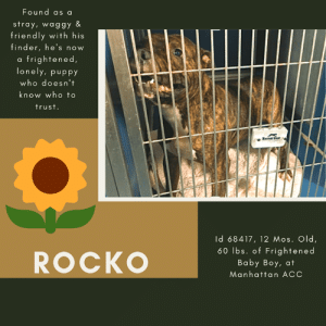 "Children, Click, and Confused: Found  as a  stray, waggy &  friendly with his  finder, he's nov  w  a frightened,  lonely, puppy  who doesn't  know who to  trust.  Knnal Gar  Id 68417, 12 Mos. Old,  60 lbs.of Frightened  Baby Boy, at  ROCKO  Manhattan ACC TO BE KILLED – 7/18/2019  He's just a scared little boy.  But when he was found, ROCKO was a happy boy, wiggling and wagging for his finder, thrilled to have a new friend who he could trust.  But little did he know that his euphoria would not last, and that very soon he would enter a place from which he may never return.  Yes, he sensed it, he could hear the other dogs crying and whining, lonely for the people they lost.  And immediately a fear set in.  After all, he is barely 12 months old, only a puppy, and he looked to the other dogs for how to behave and how to feel.  All he feels is frightened, confused, terrified.  And, as a result, he stands back in his kennel, trying to be invisible.  And he doesn't know who all these people are who try to come near him, try to open his cage door, he doesn't know they are trying to be a friend.  All he thinks is that they will bring him loss, or harm, or further heartbreak.  It's such a shame that ROCKO doesn't know that everyone is just trying to help him.  But it takes time to earn trust, and time is not something he will find at the ACC.  He is now on the list to die, and more than anything in the world, he needs a friend.  He needs a friend like the one he ""thought"" he made in the city streets, before they betrayed him and shipped him to a kill shelter.  He wants a family that stays.  Is it too much to ask?  A bit of human kindness?  If you are an experienced foster or adopter who can give this baby boy the chance he needs, you need to hurry and MESSAGE our page or email us at MustLoveDogsNYC@gmail.com for assistance fostering or adopting him and saving his life.  Due to his rating, he must go to an adult only home (no children under Age 13).     ROCKO, ID# 68417, 1 Yrs. old, 60 lbs, Unaltered Male Manhattan ACC, Large Mixed Breed, Tiger Brindle I came to the Shelter as an Agency, 7/8/2019 Shelter Assessment Rating:  New Hope Rescue Only Medical Behavior Rating:   4. Orange    AT RISK MEMO:   Rocko has remained fearful at the care center and has not allowed for handling. Rocko would be best suited for placement with a new hope partner that can provide the necessary behavior modification. Medically, Rocko has a condition of the ear which may need further care.  INTAKE NOTES – DATE OF INTAKE, 7/8/2019:  As per the officer the dog started acting aggressively when the finder placed him in the carrier. The dog was friendly with the finder. At the time of intake the dog was barking & charging at the crate.    SHELTER ASSESSMENT SUMMARIES - Date of assessment:: 7/10/2019 Summary: Rocko has allowed no handling at the care center. At intake, he was lunging and barking inside his carrier. While in his kennel, he did eat some treats but then begins baring his teeth, lunging forward and barking. Therefore, he is not a safe candidate for a handling assessment at this time.   ENERGY LEVEL: We have no history on Rocko so we cannot be certain of his behavior in a home environment. However, he is a young, enthusiastic, social dog who will need daily mental and physical activity to keep him engaged and exercised. We recommend long-lasting chews, food puzzles, and hide-and-seek games, in additional to physical exercise, to positively direct his energy and enthusiasm.   IN SHELTER OBSERVATIONS: 7/10: When walking by Rocko's kennel, his body is tense and he is in a forward stance. When lingering by his kennel for a few seconds, he lunges forward, barking and growling. He will take some treats through the kennel bars, but will then stop taking and charge forward, barking and growling. He is unable to be safely removed from his kennel. 7/16: When people pass by Rocko's kennel, he freezes and whale eyes at them. When people linger by his kennel, he progresses to baring teeth, growling, and charging forward. He remains unable to be safely removed from his kennel.  BEHAVIOR DETERMINATION:: New Hope Only Behavior Asilomar: TM - Treatable-Manageable  Recommendations:: No children (under 13),Place with a New Hope partner  Recommendations comments:: No children: Due to Rocko's behavior in his kennel at the care center, including baring teeth, lunging, and barking, we recommend an adult-only home. Place with a New Hope partner: Rocko has not acclimated well to the kennel environment and has allowed no handling since intake. Sedation was required to remove him from the kennel he was brought in with. We recommend placement with a New Hope partner who can provide any necessary behavior modification (force-free, positive reinforcement-based) and re-evaluate behavior in a stable home environment before placement into a permanent home.   Potential challenges: : Fearful/potential for defensive aggression  Potential challenges comments:: Fearful/potential for defensive aggression: Rocko has been extremely fearful at the care center and allowed no. While in his kennel, he has been reported to bare teeth, bark and lunge forward. Please see handout on Fearful/potential for defensive aggression.   MEDICAL NOTES  7/10/2019  DVM Intake Exam Estimated age: 3-4y Microchip noted on Intake? no History : stray brought by police Subjective: BAR Observed Behavior - Wagging tail, growling when touched, tense body. Sedated for exam using 0.6ml dexmedetomidine and 0.6ml torb IM Evidence of Cruelty seen -no Evidence of Trauma seen -no Objective T = P =wnl R =wnl BCS 5/9 EENT: Eyes clear, ears AD dry inflamed skin external ear canal, lower canal brown waxy d/c, no nasal or ocular discharge noted Oral Exam: limited due to muzzle, not completely down with sedation PLN: No enlargements noted H/L: NSR, NMA, Lungs clear, eupnic ABD: Non painful, no masses palpated U/G: male intact, 2 testes palpable in scrotum MSI: Ambulatory x 4, skin free of parasites, no masses noted, healthy hair coat CNS: Mentation appropriate - no signs of neurologic abnormalities Rectal: normal external Assessment: otitis externa Prognosis: good Plan: clean ears applied otipak AD neuter SURGERY: Okay for surgery.  7/12/2019 trazodone 100mg tablet -- give 3 tablets PO q12h while in shelter   *** TO FOSTER OR ADOPT ***  ROCKO IS RESCUE ONLY. You must fill out applications with New Hope Rescues to foster or adopt him. He cannot be reserved online at the ACC ARL, nor can he be direct adopted at the shelter. PLEASE HURRY AND MESSAGE OUR PAGE FOR ASSISTANCE!   HOW TO RESERVE A ""TO BE KILLED"" DOG ONLINE (only for those who can get to the shelter IN PERSON to complete the adoption process, and only for the dogs on the list NOT marked New Hope Rescue Only). Follow our Step by Step directions below!   *PLEASE NOTE – YOU MUST USE A PC OR TABLET – PHONE RESERVES WILL NOT WORK! **   STEP 1: CLICK ON THIS RESERVE LINK: https://newhope.shelterbuddy.com/Animal/List  Step 2: Go to the red menu button on the top right corner, click register and fill in your info.   Step 3: Go to your email and verify account  \ Step 4: Go back to the website, click the menu button and view available dogs   Step 5: Scroll to the animal you are interested and click reserve   STEP 6 ( MOST IMPORTANT STEP ): GO TO THE MENU AGAIN AND VIEW YOUR CART. THE ANIMAL SHOULD NOW BE IN YOUR CART!  Step 7: Fill in your credit card info and complete transaction   HOW TO FOSTER OR ADOPT IF YOU *CANNOT* GET TO THE SHELTER IN PERSON, OR IF THE DOG IS NEW HOPE RESCUE ONLY!   You must live within 3 – 4 hours of NY, NJ, PA, CT, RI, DE, MD, MA, NH, VT, ME or Norther VA.   Please PM our page for assistance. You will need to fill out applications with a New Hope Rescue Partner to foster or adopt a dog on the To Be Killed list, including those labelled Rescue Only. Hurry please, time is short, and the Rescues need time to process the applications.  Shelter contact information Phone number (212) 788-4000  Email adoption@nycacc.org  Shelter Addresses: Brooklyn Shelter: 2336 Linden Boulevard Brooklyn, NY 11208 Manhattan Shelter: 326 East 110 St. New York, NY 10029 Staten Island Shelter: 3139 Veterans Road West Staten Island, NY 10309    *** NEW NYC ACC RATING SYSTEM ***  Level 1 Dogs with Level 1 determinations are suitable for the majority of homes. These dogs are not displaying concerning behaviors in shelter, and the owner surrender profile (where available) is positive.   Level 2  Dogs with Level 2 determinations will be suitable for adopters with some previous dog experience. They will have displayed behavior in the shelter (or have owner reported behavior) that requires some training, or is simply not suitable for an adopter with minimal experience.    Level 3 Dogs with Level 3 determinations will need to go to homes with experienced adopters, and the ACC strongly suggest that the adopter have prior experience with the challenges described and/or an understanding of the challenge and how to manage it safely in a home environment."