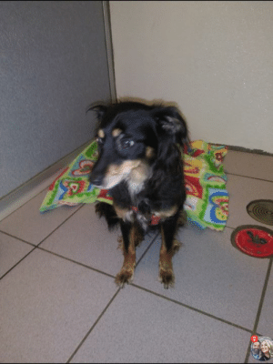 Memes, Control, and Animal: Found dog .....Colonie....Tremont Dr.  Please spread the word.  Spaniel Mix found on Tremont Drive. Please call animal control with any information. 518-283-2711.
