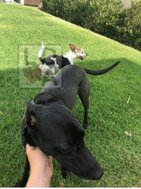 "Dogs, Facebook, and Memes: FOUND DOGS Tea Tree Gully #Adelaide 26/1/19 ""Ashanti"" Greyhound, black.  White, tan and back jack Russell.  Safe with finder. https://www.facebook.com/ashlee.jayne.92"