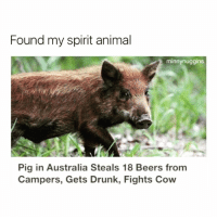 😂😂😂(@minnynuggins): Found my spirit animal  minnynuggins  Pig in Australia Steals 18 Beers from  Campers, Gets Drunk, Fights Cow 😂😂😂(@minnynuggins)