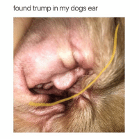 Ass, Dogs, and Ugly: found trump in my dogs ear ugly ass fuck