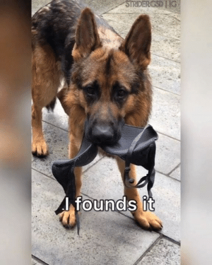Club, Dank, and Funny: founds it  0 I has bra, I like it, I keeps it By Strider The German Shepherd  Join The Barked Club for more funny dog videos!