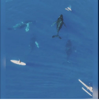 Dank, Swimming, and 🤖: Four 30-ton whales swimming silently below a paddle boarder. This is amazing 😱🐳.