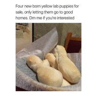 *SERIOUS INQUIRIES ONLY!* they're PURE BREAD, just like my page! Follow @rudecapybara 💕🙆🏻🐣: Four new born yellow lab puppies for  sale, only letting them go to good  homes. Dm me if you're interested  ITALY  urant *SERIOUS INQUIRIES ONLY!* they're PURE BREAD, just like my page! Follow @rudecapybara 💕🙆🏻🐣