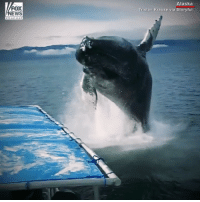 Memes, News, and Alaska: FOX  NEWS  Alaska  Tristan Krause via Storyful A group of whale watchers got a thrill when a humpback whale got awfully close during their tour in Alaska.