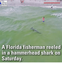 Watch: A fisherman reeled in a massive hammerhead shark off Florida's Panama City Beach. The fisherman later released the shark back into the ocean.: FOX  NEWS  Courtesy Curtis Williams  A Florida fisherman reeled  in a hammerhead shark on  Saturday Watch: A fisherman reeled in a massive hammerhead shark off Florida's Panama City Beach. The fisherman later released the shark back into the ocean.