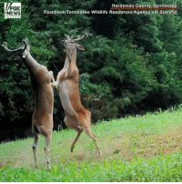 What the... buck?! Wildlife officers captured this video of two bucks fighting over food in Tennessee.: FOX  NEWS  Hardeman County, Tennessee  Facebook/Tennessee Wildlife Resources Agency via Storyful, What the... buck?! Wildlife officers captured this video of two bucks fighting over food in Tennessee.