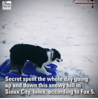 Instagram, Memes, and News: FOX  NEWS  ioux City, lowa  Instagram/my aussie girl  Secret spent the whole day going  up and down this snowy hill in  Sioux City, lowa, according to Fox 5. Secret the Australian Shepherd isn't letting the snow dampen her spirits. Watch as she goes sledding downhill all on her own!