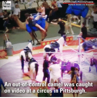 An out-of-control camel was caught on video at a circus in Pittsburgh. Handlers were eventually able to calm the animal down.: FOX  NEWS  ittsburgh, Pennsylvania  Ronald Smith via Storyful  An out-of-control camel was caught  on video at a circus in Pittsburgh An out-of-control camel was caught on video at a circus in Pittsburgh. Handlers were eventually able to calm the animal down.