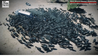 Incredible drone footage shows cattle swarming a water truck in New South Wales, Australia, a region experiencing what is likely to be its worst drought in 400 years.: FOX  NEWS  New South Wales, Australia  Burrabogie Livestock and Contracting via Storvful Incredible drone footage shows cattle swarming a water truck in New South Wales, Australia, a region experiencing what is likely to be its worst drought in 400 years.