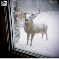 "This giant deer in New York enjoyed a snack during the ""bomb cyclone"" winter storm that hit the East Coast.: FOX  NEWS  New York  Courtesy: Donna Nicholson This giant deer in New York enjoyed a snack during the ""bomb cyclone"" winter storm that hit the East Coast."