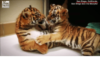 Memes, News, and California: FOX  NEWS  San Diego, California  San Diego Zoo via Storyful A Sumatran tiger cub has a new home and friend at the SanDiegoZoo after his mother became aggressive and rejected him.