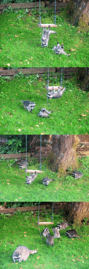 foxsoulcourt:@badacts , look it's your friends The Raccoons having an outdoor party.: foxsoulcourt:@badacts , look it's your friends The Raccoons having an outdoor party.