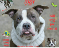 "Apparently, Candy, and Cats: FOZZY  ID# 46755  rs  Will  sing  for  treats!  Sweet  Teddy  Bear!  lanhattan Animal Care Ce  ter TO BE KILLED - 11/13/2018  Sweet Teddy bear will sing for treats!! Look at this handsome boy... Adorably loving..Charming personality...precious treasure with a heart of gold. Fozzy has it all except for a home to call his very own...And before long he may not even have his life. Won't you step up And make his dreams come true? Hurry time is running out.   A volunteer writes: Fozzy wozzy was a bear. Except this bear has plenty of hair (shiny and silver, no less) and is much closer to teddy than grizzly, and much more inclined to hug than to growl. 3 year-old Fozzy couldn't be sweeter in his kennel if he tried. And he does! Positioning those practiced puppy dog eyes right on me in preparation for our walk, I'm powerless against him. So walk we do and, as expected, Fozzy is a perfect gentleman. He pads easily in front of me as we make our way to a pen, where Fozzy is happy as a clam to sit for snacks, get plenty of rubs, and pose expertly for photos. But when talking about Fozzy one has to mention his love - of talking! That's right, this charming charmer is also a chatty Kathy and will talk your ear off if you let him (psst, you will and happily). Fozzy wozzy was a bear. And now he's a perfectly perfect pup ready for his happy ending. Might it be with you? Fozzy is waiting in adoptions at Manhattan ACC.   VIDEO: Operatic Singer https://youtu.be/ZhSaxZCo-yU  Fozzy ID# 46755  MANHATTAN ANIMAL CARE CENTER Age: 3 years old Male, Is Vaccinated: Yes,  Gray/White, Weight: 65.8 lbs. Intake Date: 11-08-2018 I came into the shelter as a agency on 08-Nov-2018.  Behavior History: Upon intake, Fozzy had a loose, wiggly body and a wagging tail. He panted and took treats and water when offered. He jumped up in a social manner multiple times. He would whine when select staff would leave the room. He licked counselors and leaned his body against their legs when he was scratched.  Date of Intake: 11/8/2018  Basic Information:: Fozzy is a roughly 3 year old gray and white large mixed breed intact male dog. He was brought to our facilities as a stray via the NYPD after they were called to pick up a dog that had been left in an empty apartment.  Previously lived with:: Unknown  How is this dog around strangers?: Fozzy was friendly and energetic towards responding officers. They stated that he whined a lot on the car ride to MACC.  How is this dog around children?: Behavior is unknown.  How is this dog around other dogs?: Behavior is unknown.  How is this dog around cats?: Behavior is unknown.  Resource guarding:: Behavior is unknown.  Bite history:: Bite history is unknown, but he did not attempt to bite NYPD officers or MACC staff upon intake.  Housetrained:: Unknown  Energy level/descriptors:: Unknown, but appears playful and enegetic  Other Notes:: Fozzy reportedly whines during car rides.  Has this dog ever had any medical issues?: Yes  Medical Notes: Fozzy presented with a small patch of alopecia on his tail upon intake.  For a New Family to Know: Fozzy appears to be a young, energetic dog who at times appears anxious or nervous and will vocalize.  Behavior Assessment Date of intake:: 11/8/2018  Spay/Neuter status:: No  Means of surrender (length of time in previous home):: Stray  Date of assessment:: 11/11/2018  Look:: 2. Dog pulls out of Assessor's hands each time without settling during three repetitions.  Sensitivity:: 1. Dog leans into the Assessor, eyes soft or squinty, soft and loose body, open mouth.  Tag:: 1. Dog assumes play position and joins the game. Or dog indicates play with huffing, soft 'popping' of the body, etc. Dog might jump on Assessor once play begins.  Paw squeeze 1:: 2. Dog quickly pulls back.  Paw squeeze 2:: 2. Dog quickly pull back.  Flank squeeze 1:: Item not conducted  Flank squeeze 2:: Item not conducted  Toy:: 1. Minimal interest in toy, dog may smell or lick, then turns away.  Summary:: Fozzy appeared anxious in the assessment room, panting, whining, and barking. He approached the assessor with a soft body, was social during the assessment, and allowed all handling.  Summary:: Slow introductions are recommended between Fozzy and respectful dogs.  Summary (1):: 11/9: When introduced off leash to female dogs, Fozzy is fearful and keeps mostly to himself.  Summary (2):: 11/10-11: Fozzy greets polite female dogs but mostly keeps to himself.  Date of intake:: 11/8/2018  Summary:: Loose body, allowed handling, jumped up socially  Date of initial:: 11/8/2018  Summary:: Social  ENERGY LEVEL:: We have no history on Fozzy so we cannot be certain of his behavior in a home environment. However, he is a young, enthusiastic, social dog who will need daily mental and physical activity to keep him engaged and exercised. We recommend long-lasting chews, food puzzles, and hide-and-seek games, in additional to physical exercise, to positively direct his energy and enthusiasm.  BEHAVIOR DETERMINATION:: EXPERIENCE (suitable for an adopter with some previous dog experience, especially with the behaviors outlined below)  Behavior Asilomar: TM - Treatable-Manageable  Potential challenges: : Anxiety  Potential challenges comments:: Anxiety: Fozzy appears anxious at the care center, whining, panting, and barking during his assessment. We have no history on his behavior in a home environment, so we do not know if this will occur outside of the care center. If it does appear in a future home, we recommend puzzle toys, long walks, and giving him other things to focus on to alleviate his anxiety. Positive reinforcement, force-free training only should be used.  My medical notes are... Weight: 65.8 lbs  Vet Notes 8/11/2018  [DVM Intake] DVM Intake Exam  Estimated age: 3 years Microchip noted on Intake? No Microchip Number (If Applicable):  History :  Subjective: BAR  Observed Behavior -Friendly, wagging tail  Evidence of Cruelty seen -No  Evidence of Trauma seen -No  Objective   T = P =112 bpm R =eup BCS 4/9  EENT: Eyes clear, moderate erythema and yeasty debris AU, no nasal or ocular discharge noted Oral Exam: Clean teeth PLN: No enlargements noted H/L: NSR, NMA, CRT < 2, Lungs clear, eupnic, no c/s ABD: Non painful, no masses palpated U/G: M/I, both down, s/s testes MSI: Ambulatory x 4, skin free of parasites, no masses noted, patch of alopecia on tail-looks quiet and healing, no discharge or redness CNS: Mentation appropriate - no signs of neurologic abnormalities Rectal: Clean externally  Assessment: Otitis externa AU Otherwise apparently healthy  Prognosis: Good  Plan: Cleaned ears AU Applied Claro AU  SURGERY: Okay for surgery   10/11/2018  SO  BAR in kennel. on 11/09; volunter presented a single Reese's candy wrapper with sunflower seeds that P defecated. Recheck P today. No further reports of foreign body defecation   P is barking and howling, standing at kennel front for attention.   A  foreign body, candy wrapper and sunflower seeds   P  continue to monitor in shelter  recheck in 2 days  12/11/2018  S/O: BAR, found chewing on rawhide.  On 11/09, volunteer presented a single Reese's candy wrapper with sunflower seeds that P defecated. Recheck P today. No further reports of foreign body defecation. Reports of inappetance on 11/10 and 11/12.  - mod serous nasal discharge, no sneezing or coughing noted  A  1) CIRDC  2) hx of foreign body, candy wrapper and sunflower seeds   P  1) Move to ISO  2) Doxycycline 10 mg/kg PO SID x 14d  3) Enrofloxacin 5 mg/kg PO SID x 14d  4) Cerenia 2 mg/kg PO SID x 4d  5) Recheck CIRDC in 7d  6) recheck if eating or not in 1 day +/- consider intravenous medications + fluids  * TO FOSTER OR ADOPT *   HOW TO RESERVE A ""TO BE KILLED"" DOG ONLINE (only for those who can get to the shelter IN PERSON to complete the adoption process, and only for the dogs on the list NOT marked New Hope Rescue Only). Follow our Step by Step directions below!   PLEASE NOTE – YOU MUST USE A PC OR TABLET – PHONE RESERVES WILL NOT WORK! *  STEP 1: CLICK ON THIS RESERVE LINK: https://newhope.shelterbuddy.com/Animal/List  Step 2: Go to the red menu button on the top right corner, click register and fill in your info.   Step 3: Go to your email and verify account  \ Step 4: Go back to the website, click the menu button and view available dogs   Step 5: Scroll to the animal you are interested and click reserve   STEP 6 ( MOST IMPORTANT STEP ): GO TO THE MENU AGAIN AND VIEW YOUR CART. THE ANIMAL SHOULD NOW BE IN YOUR CART!  Step 7: Fill in your credit card info and complete transaction   HOW TO FOSTER OR ADOPT IF YOU CANNOT GET TO THE SHELTER IN PERSON, OR IF THE DOG IS NEW HOPE RESCUE ONLY!   You must live within 3 – 4 hours of NY, NJ, PA, CT, RI, DE, MD, MA, NH, VT, ME or Norther VA.   Please PM our page for assistance. You will need to fill out applications with a New Hope Rescue Partner to foster or adopt a dog on the To Be Killed list, including those labelled Rescue Only. Hurry please, time is short, and the Rescues need time to process the applications."